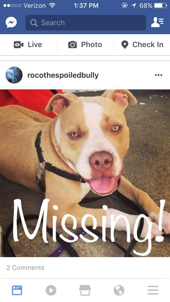 Lost Dog - Pit Bull - West Haven, CT, United States 06516