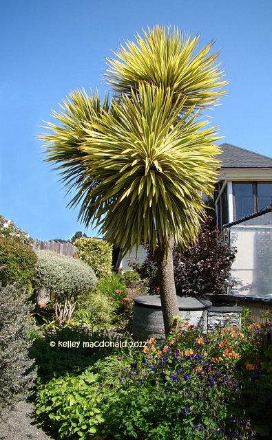 Cordyline Australis Albertii Architectural Plants Tropical Landscaping Front Yard Landscaping