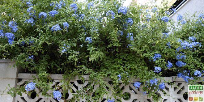 La dentelaire du Cap, connue aussi sous le nom de Plumbago du Cap (Plumbago capensis), décore de ses fleurs bleues azur les jardins, murs et façades du sud.  Comment cultiver cette plante ?