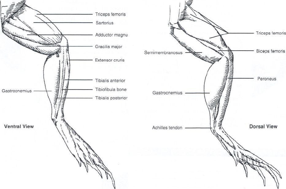 Frog leg diagram labeled complete wiring diagrams frog leg diagram wiring library u2022 rh efecty co structure of frog heart labeled frog organs ccuart Gallery