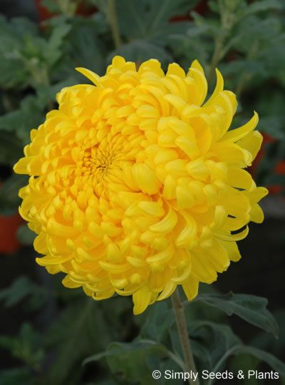 13 Different Types Of Chrysanthemums Plus Planting Tips And Health Benefits Mums Flowers Plants Chrysanthemum