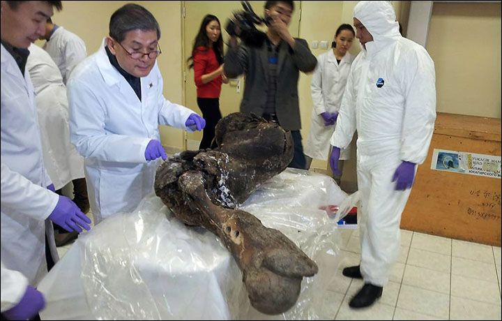Scientists start extracting DNA from woolly mammoth found in permafrost