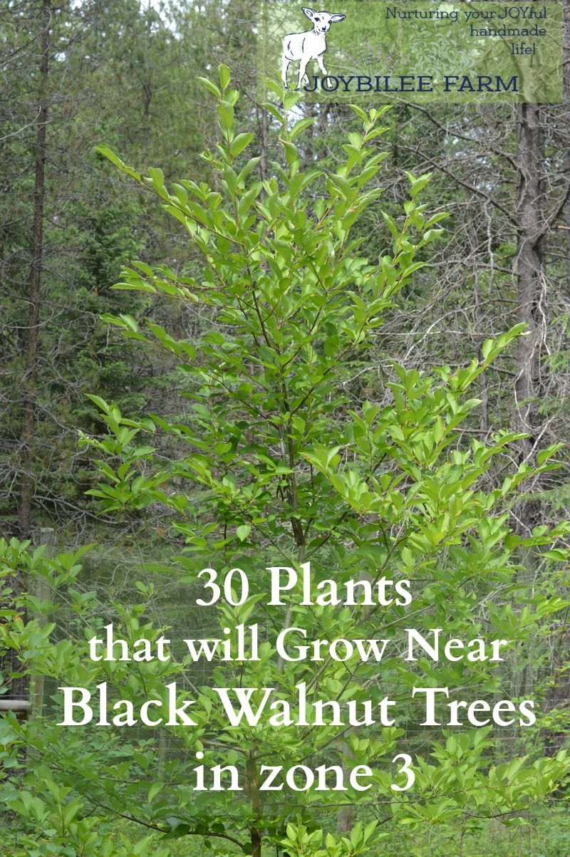 30 Plants That Will Grow Near Black Walnut Trees In Zone 3 Joybilee Farm Diy Herbs Gardening Black Walnut Tree Walnut Tree Growing Fruit Trees