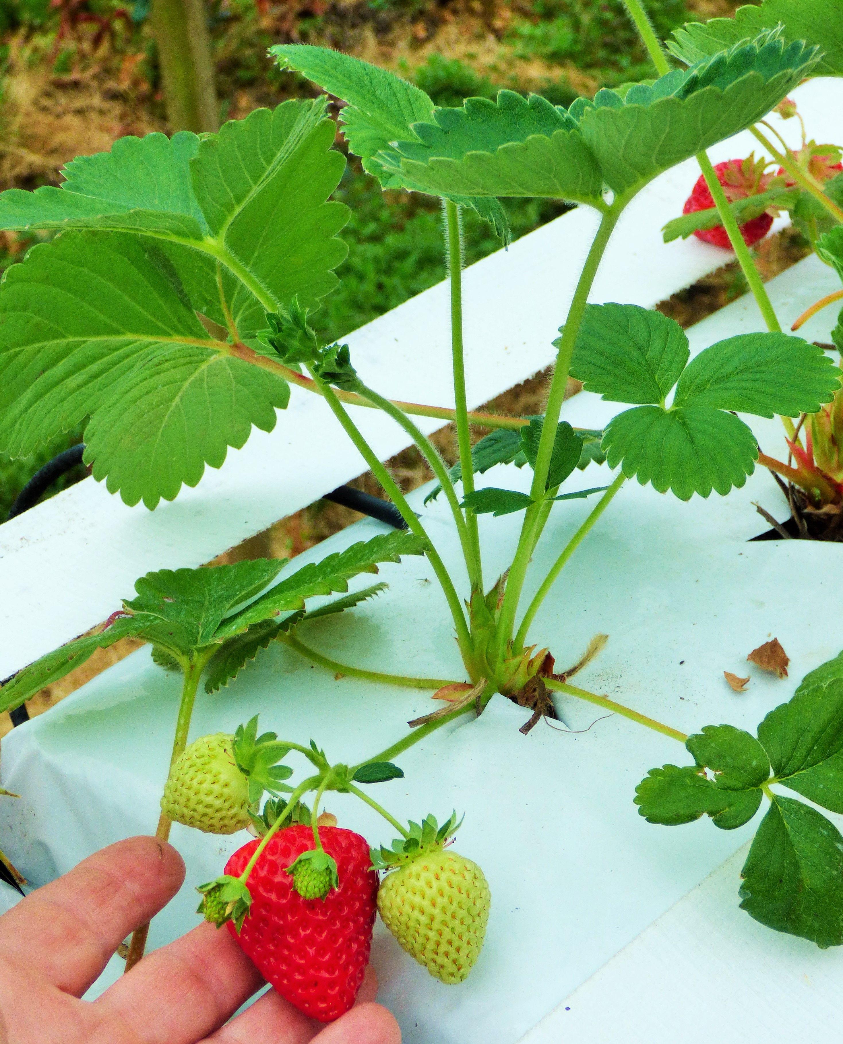 Strawberry Hydroponics Fragaria Albion Ornamental Plants Strawberry Hydroponics