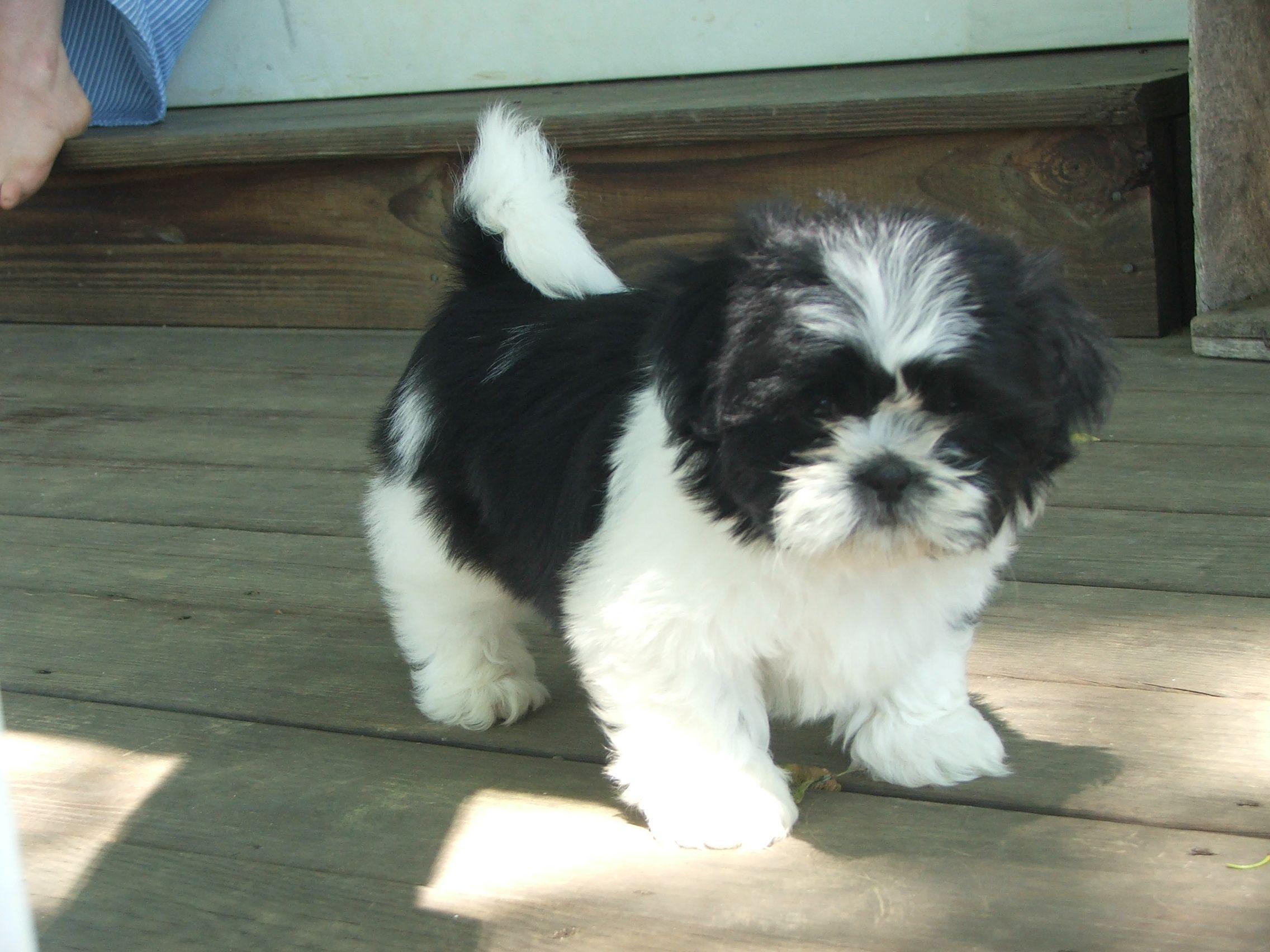 shih tzu puppies Shihtzu Puppies in PA Favorite Shih