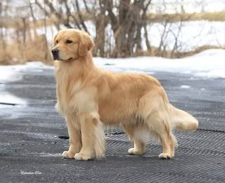 Pedigree Can Ch Goldensunsetauburnmist Tribute Cgn Dogs Golden Retriever Dogs Every Dog Breed