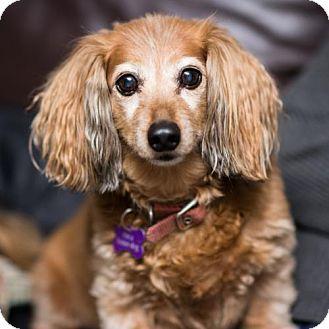 Toronto On Dachshund Meet Odie A Dog For Adoption Kitten Adoption Dog Adoption Pets