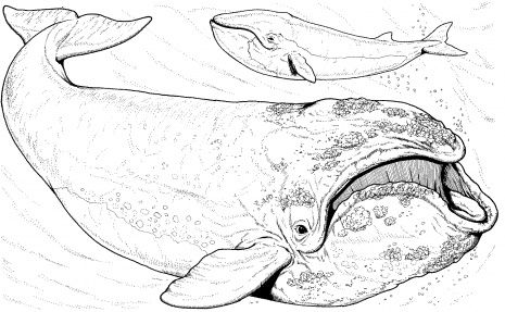 Bowhead Whale Whale Coloring Pages Bowhead Whale