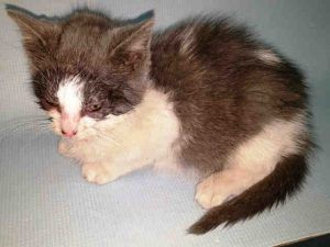 QUINN - A1100189  SUPER URGENT!  Must be pulled by New Hope Rescue. Only 7 WEEKS OLD - UNDERWEIGHT - NEEDS FOSTER!