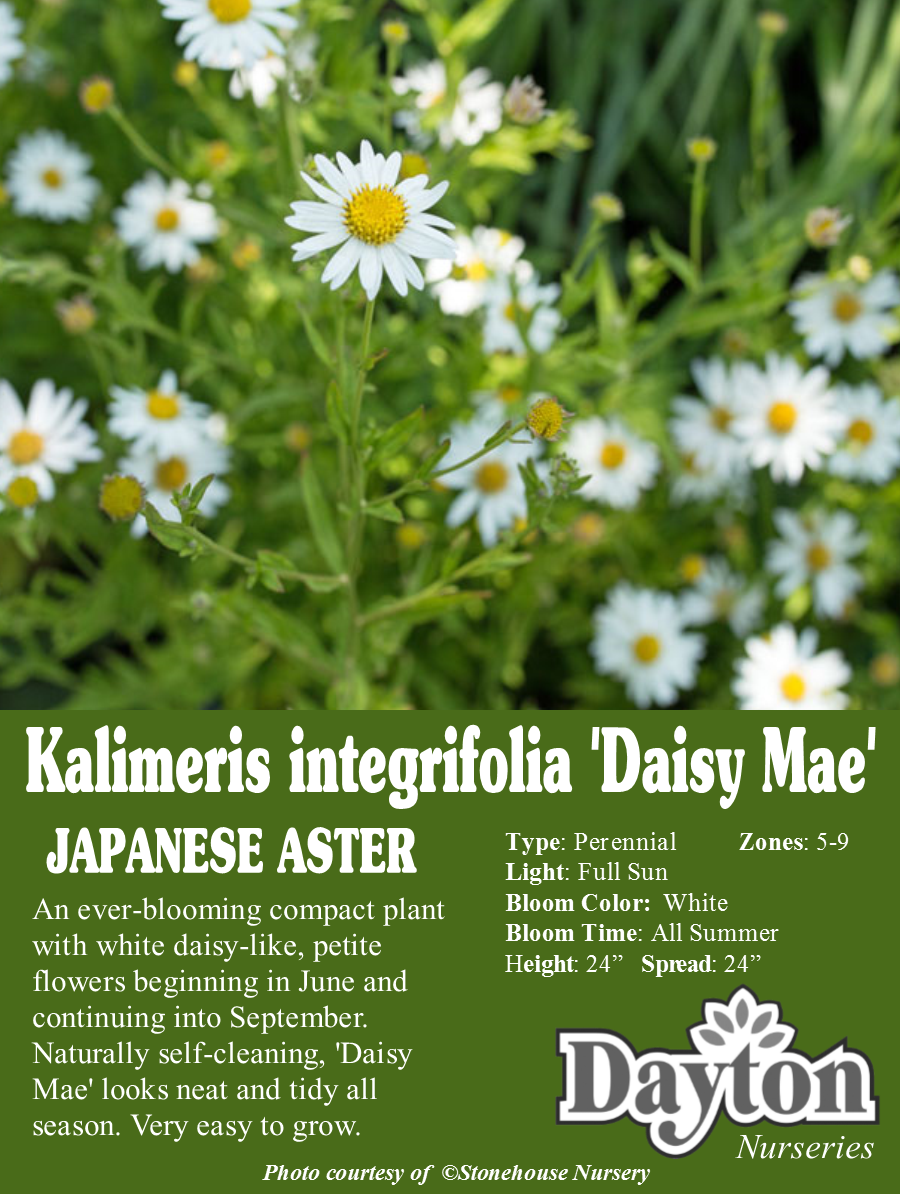 Kalimeris Integrifolia Daisy Mae Japanese Aster An Ever Blooming Compact Plant With White Daisy Like Petite Flowers Be Daisy Mae Planting Flowers Plants