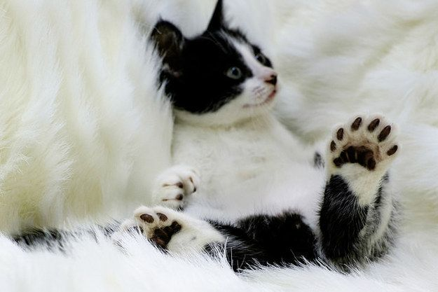 Check Out This Cat With The Most Adorable Panda Paws Polydactyl