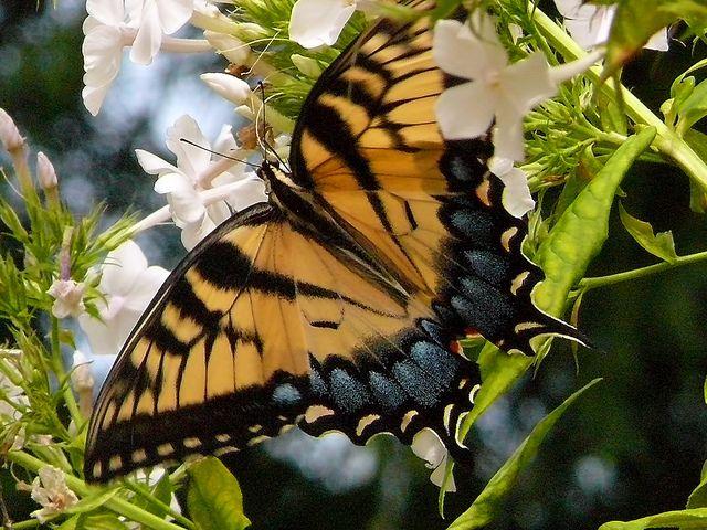 Eastern Tiger Swallowtail on phlox