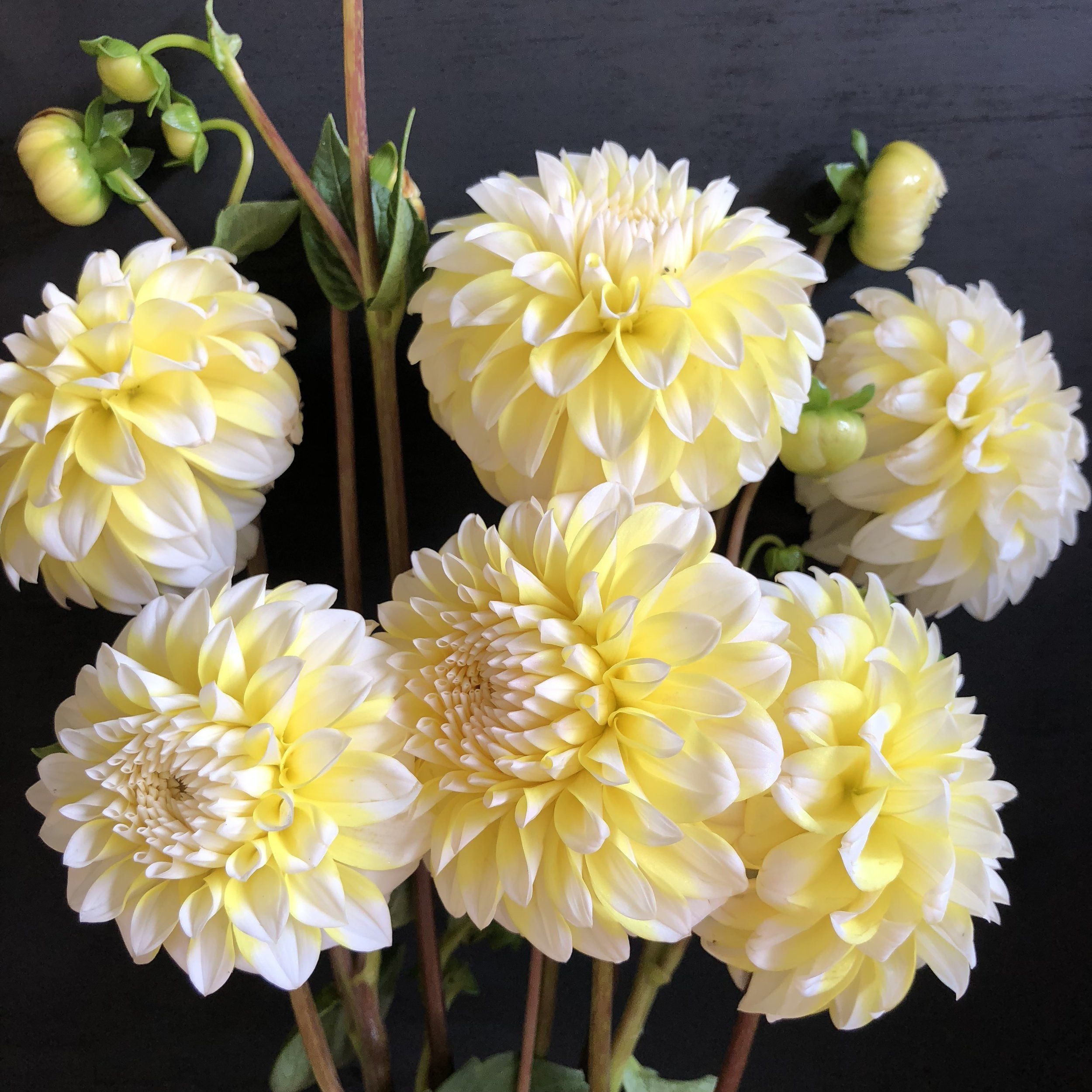 Dahlia Ova Jo Goldenrod Gardens Dahlia Flower Farmer Bohemian Wedding Flowers