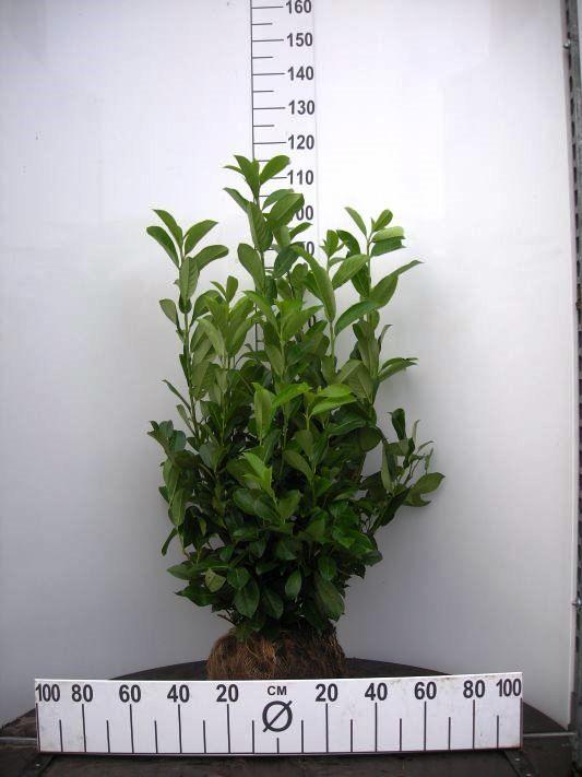 Cherry Laurel Root Ball Hedging plants. Buy Online UK ...