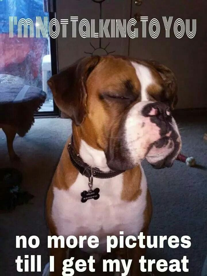 I'm not talking to you | Funny Boxer Dogs | Boxer dogs ...