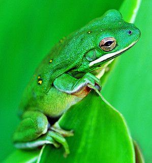 Animal - Barking Tree Frog, Dallas, Texas