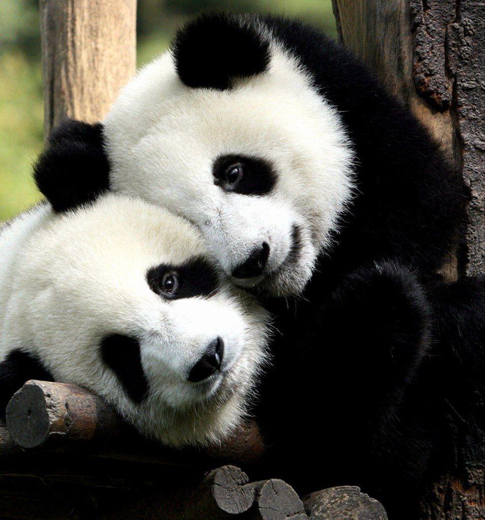 couple de panda | panda | pinterest | panda and animal