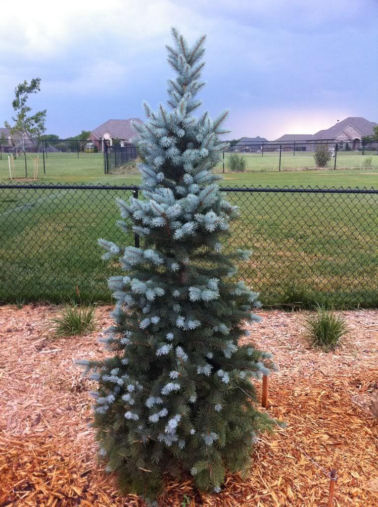 Picea Pungens Glauca Fastigiata Wells Blue Totem Progressive