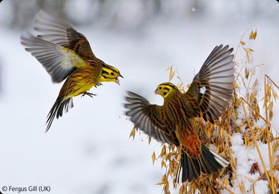 Yellow Hammer Tattoos Google Search Vogeltjes Vogels