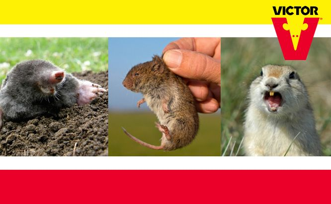 How To Id Moles Voles And Gophers Getting Rid Of Rats Getting Rid Of Gophers Getting Rid Of Mice