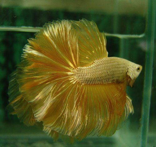 Gold Dragon The Bettas They Breed In Thailand Are Above And