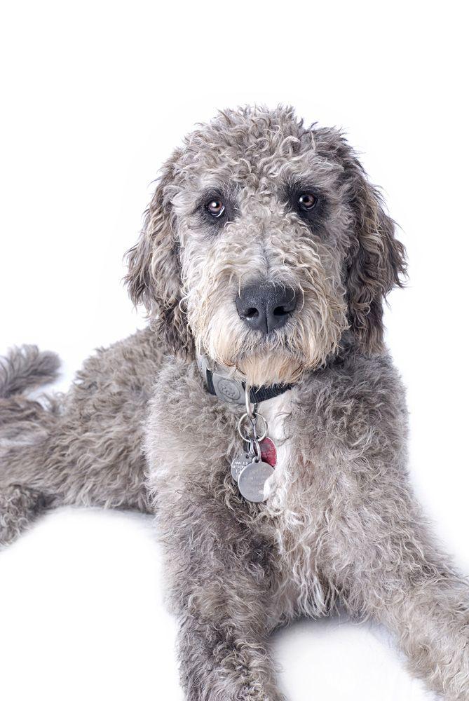 Dane Poodle Mix : poodle, Great, Danoodles, Intelligent, Obedient, Willing, Please., Danoodle,