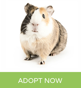 Pin On Guinea Pig Pictures