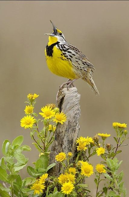 This beautiful grassland bird has a bright yellow breast with a striking black V-shaped mark. Its back is mottled brown, and its tail shows distinctive white outer feathers in flight. Despite its name, the eastern meadowlark is not a lark but a member of the blackbird family, related to the European starling, which it resembles in its swaggering gait, and in flight it has the same flapping, then gliding action.