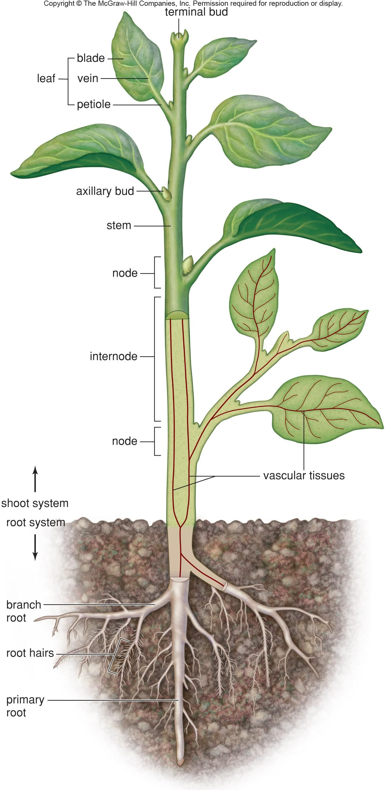 Shoot system, and Root System Vascular plant, Plants