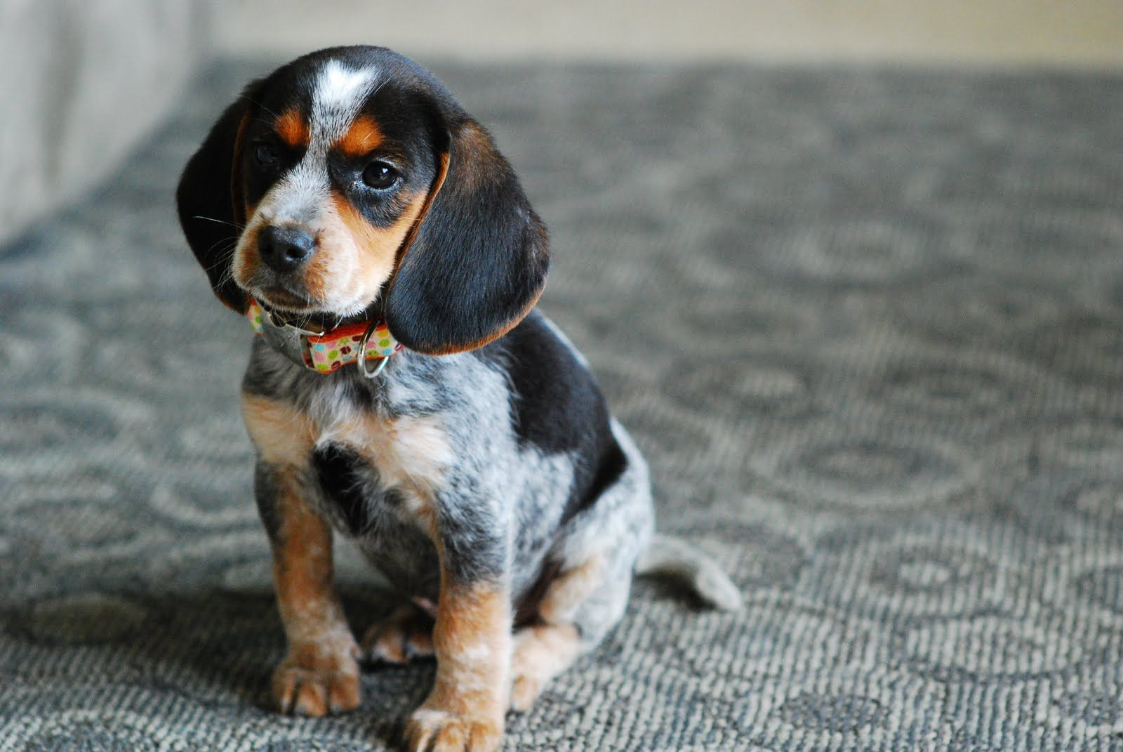 Bluetick Beagle Blue Tick Beagle Hound Puppies Cute Beagles