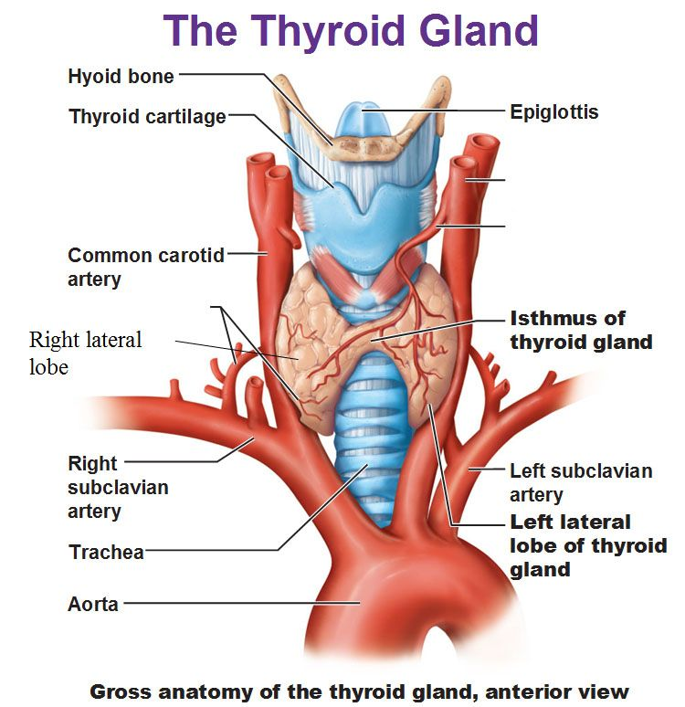 thyroid gland, left and right lateral lobes, isthmus and aorta and, Human Body