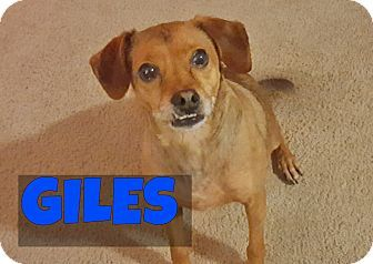 Pictures of Giles a Chihuahua/Beagle Mix for adoption in Bellingham, WA who needs a loving home.
