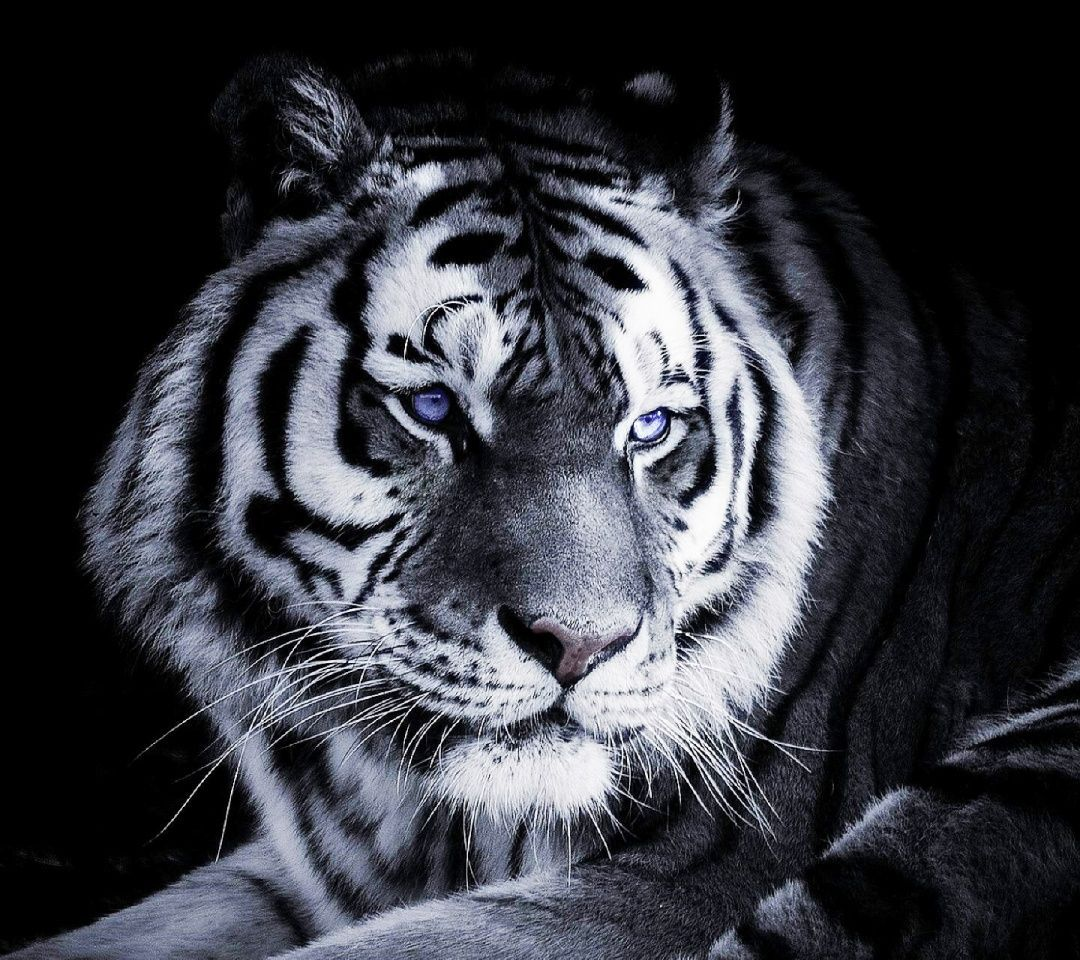 Popular Wallpaper Mobile Tiger - a8820c5b51dad785405b10165a28c0c3  Collection_391613.jpg