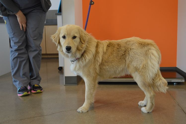 Grrnt Henry Is A 7 8 Month Old Male To Keep Up With Him Go To Www Goldenretrievers Org Golde Golden Retriever Rescue Golden Retriever Golden Retriever Breed