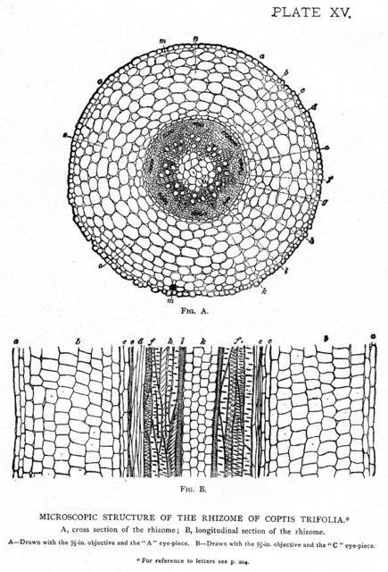 Microscopic structure of the rhizome of Coptis Trifolia