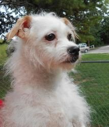 Adopt Piper On Poodle Mix Dogs Terrier Poodle Mix Dog Life