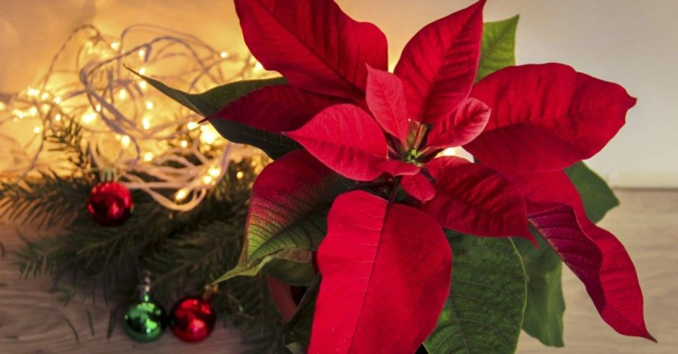 Top 11 Trends In Why Are Poinsettias A Christmas Flower To Watch Why Are Poinsettias A Christmas Flower Ht Poinsettia Plant Christmas Flowers Flower Meanings