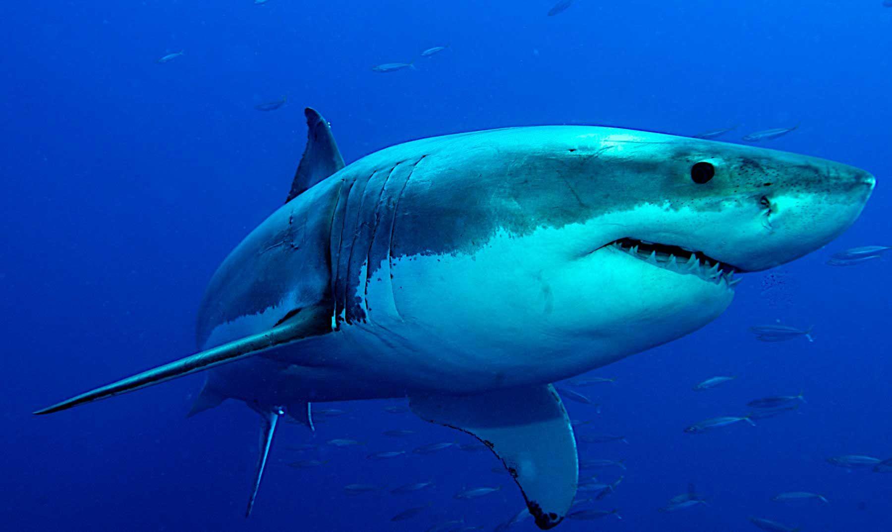 El tiburón blanco es una especie de pez cartilaginoso lamniforme de ...