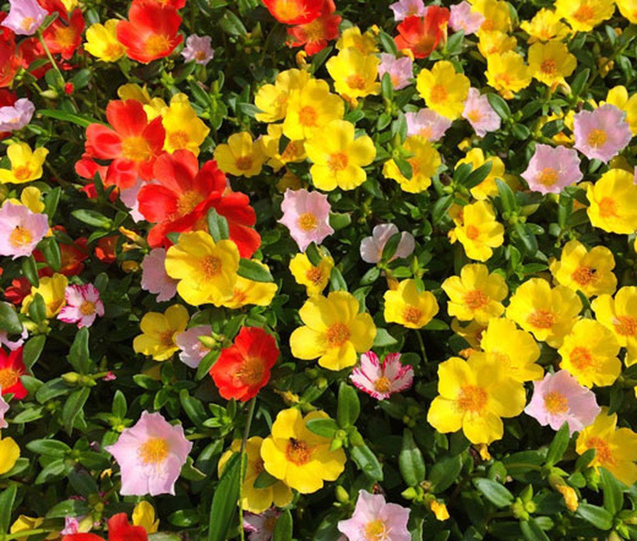 Moss Rose Better Homes Gardens