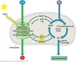 Electron transport chain photosynthesis unlabeled google search electron transport chain photosynthesis unlabeled google search ccuart Gallery