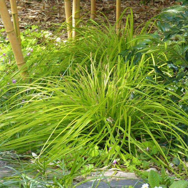 Carex oshimensis Everillo® Mini-motte - Laîche du0027Oshima - carex bronze reflection