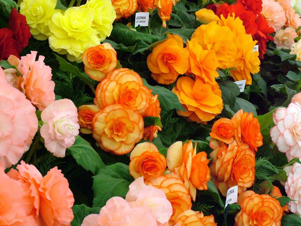 Begonias The Begonia Flower Means Beware Or Be Cautious As Well As A Fanciful Mind When Planting A Feng Shui Garden Include T Begonia Flowers Flower Show