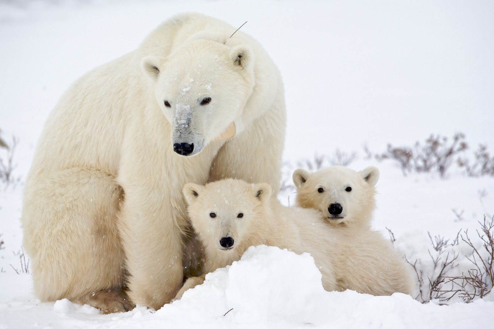 Pregnant polar bears need to eat a lot in the summer and fall build up enough fat reserves to survive the denning period.
