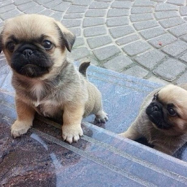 Top 5 Cutest Puppy Breeds Sweet And Cute Puppies Cute Pug