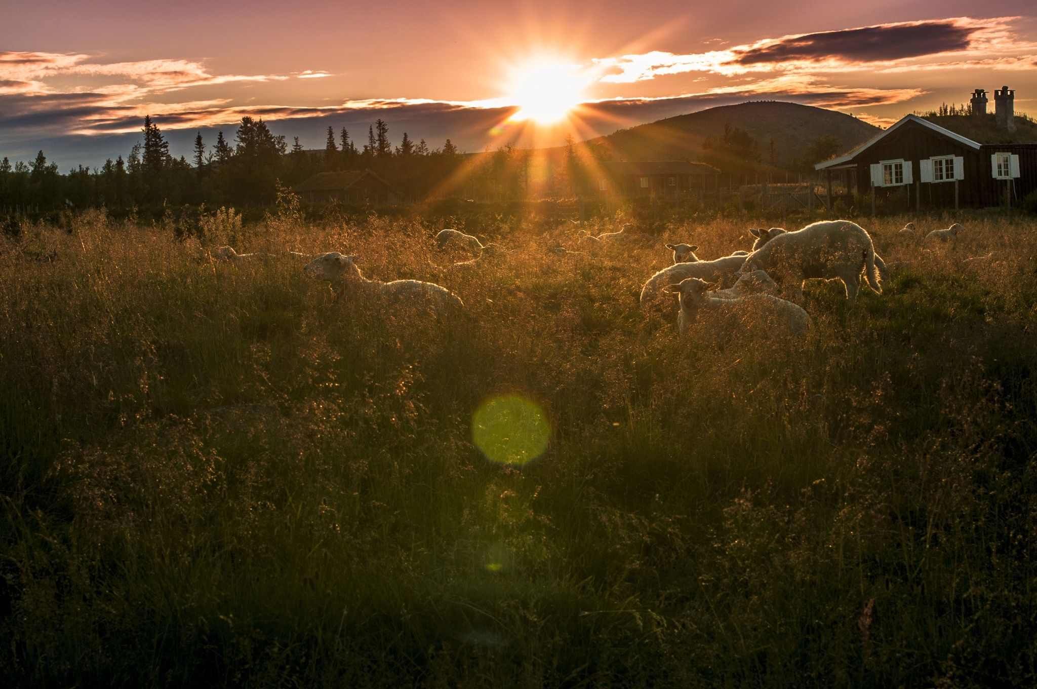Sheep in sunset by Kristin Brænd on 500px