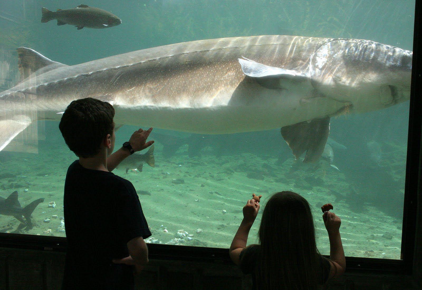 Herman the sturgeon bonneville dam fish hatchery in for Fishing in portland oregon