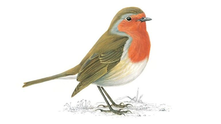 Simple facts on Robin: Robins sing from prominent places ...