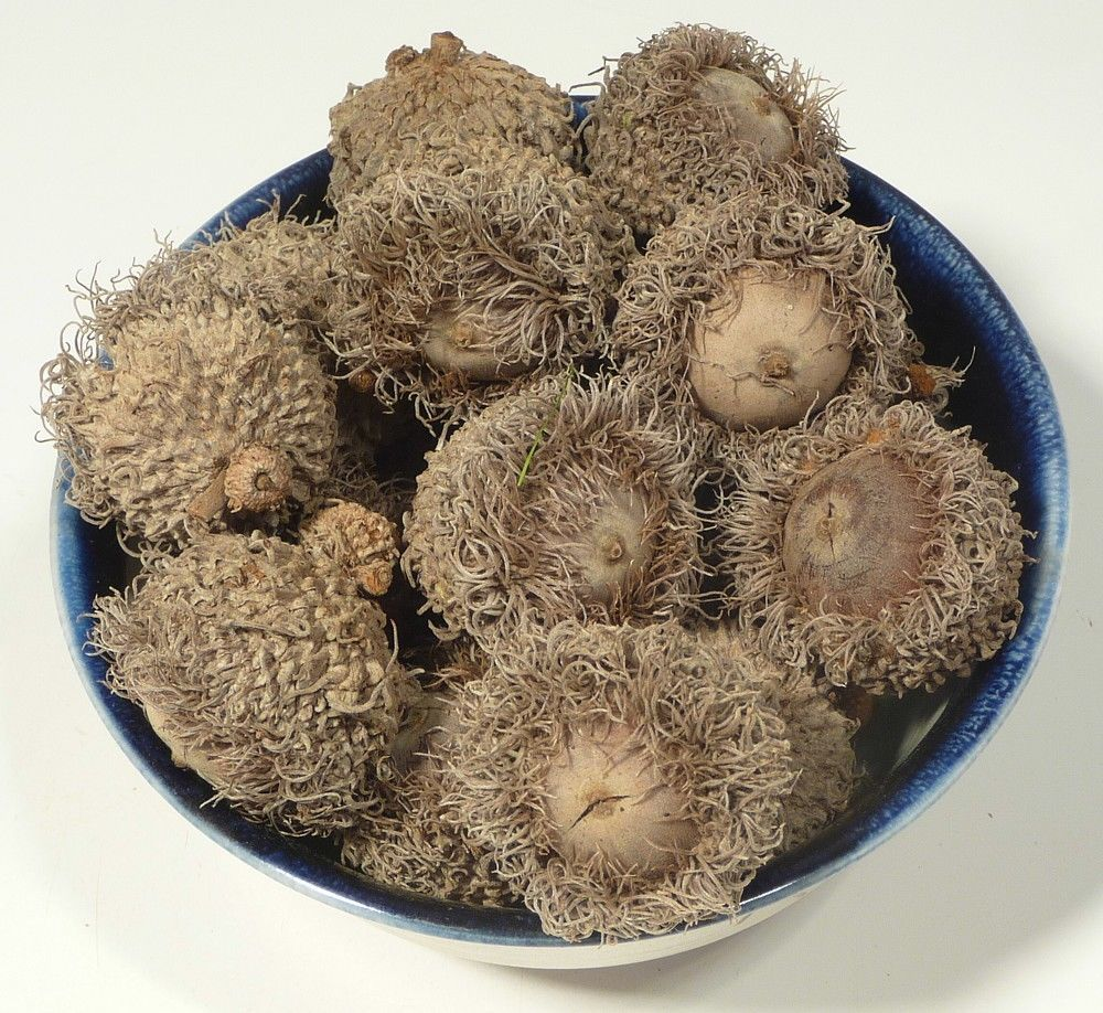 12 LARGE BURR OAK ACORNS FOR SEEDS OR FALL DECORATIONS NICE ONES FROM MY TREE