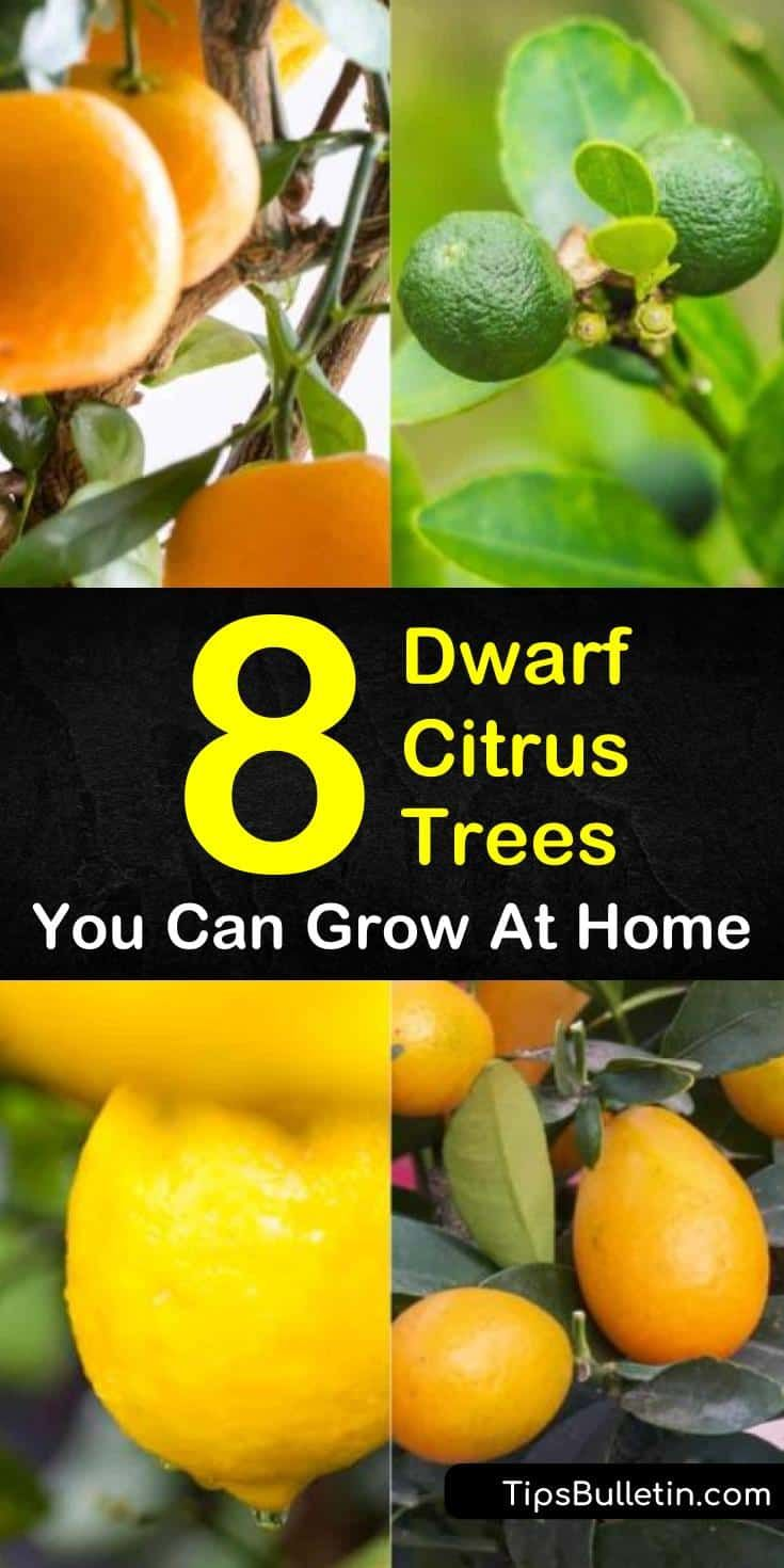 8 Different Dwarf Citrus Trees You Can Grow At Home Indoor Lemon Tree Dwarf Fruit Trees Citrus Tree Indoor