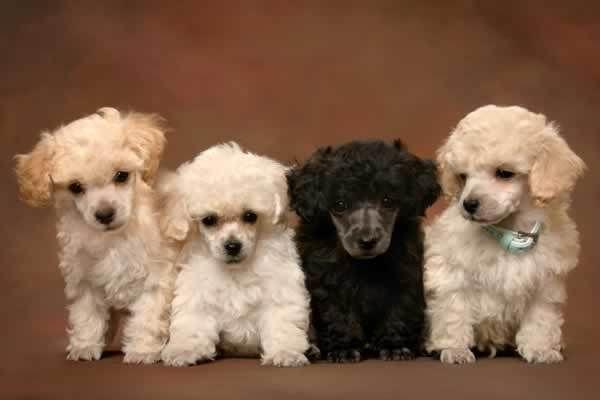 poodles!!!